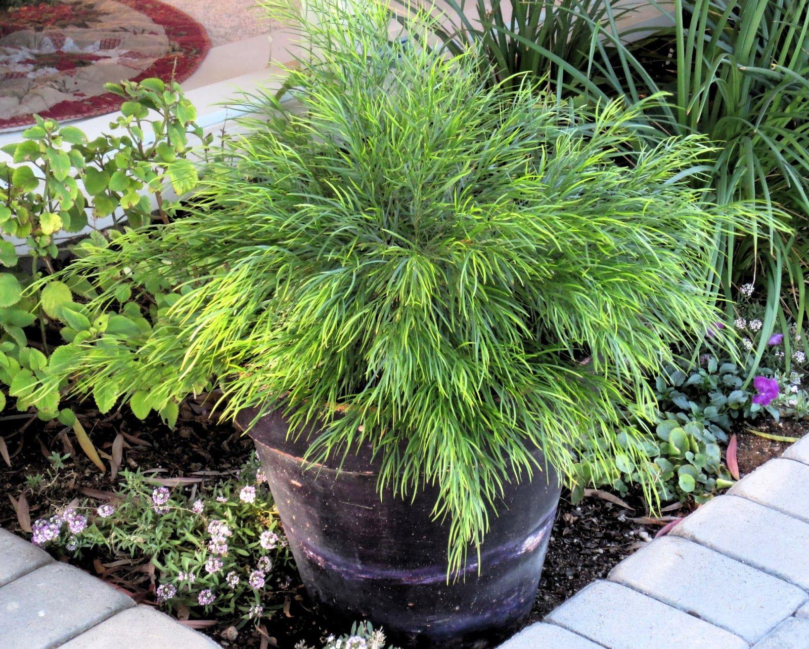 Cousin itt acacia possibly summer garden plants pinterest