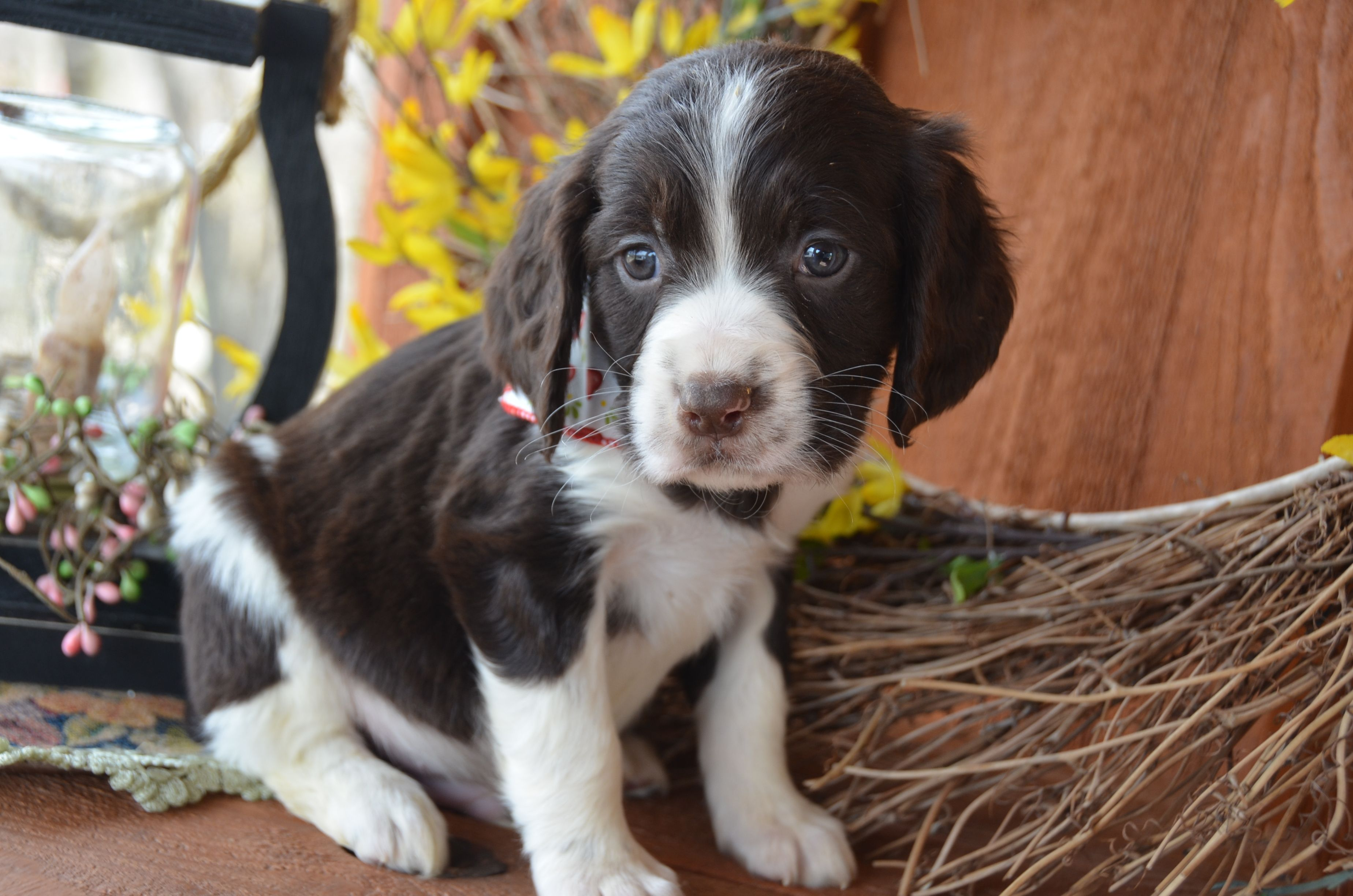 Liver and white English Springer Spaniel puppy from