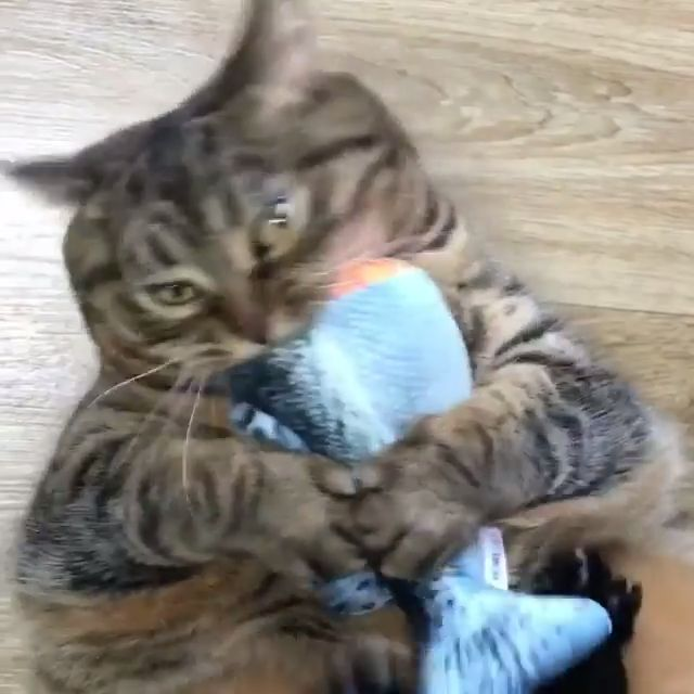 Cat Going Crazy For Fish Toy - #Cat #Crazy #Fish #Toy