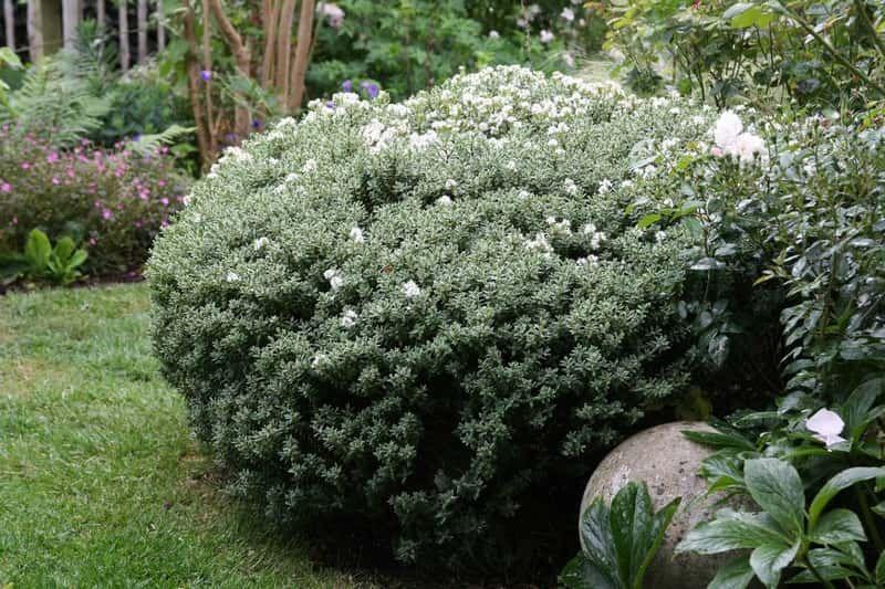 Quels Arbustes Pour Remplacer Le Buis Arbuste Jardins