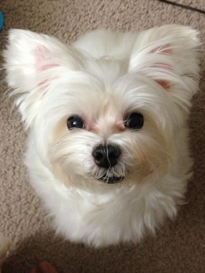 Do You Have Any Treats Maltese Dogs Animals Beautiful Cute Dogs