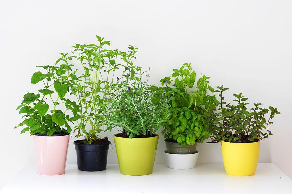 Conseils pour cultiver des plantes aromatiques (mélisse, stevia, lavande, basilic et menthe) en pot, dans un appartement ou sur un balcon.