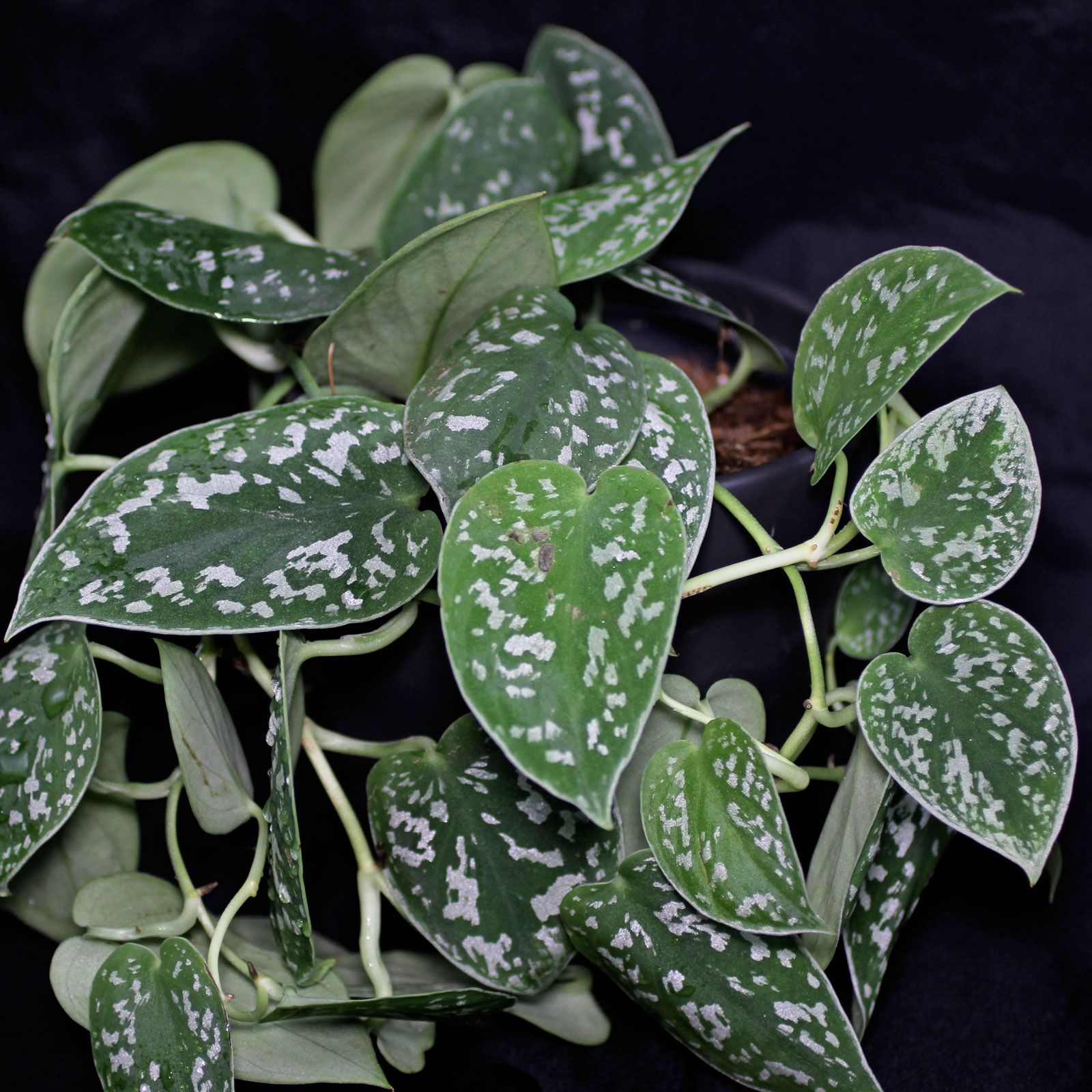 gefleckte efeutute 'scindapsus pictus' | pflanzen ➳ | pinterest