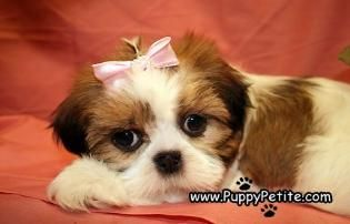 Puppy Petite Puppies For Sale Shih Tzu Puppy Puppies For Sale Puppies