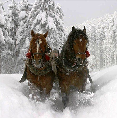 Clydesdales in Winter