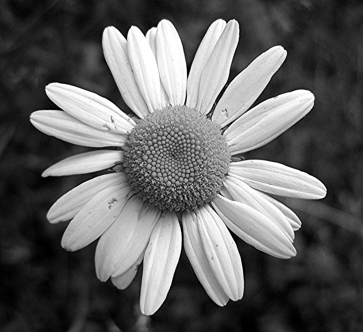 Floral Black And Grey Nature Tattoo: Black And White Daisy Myspace