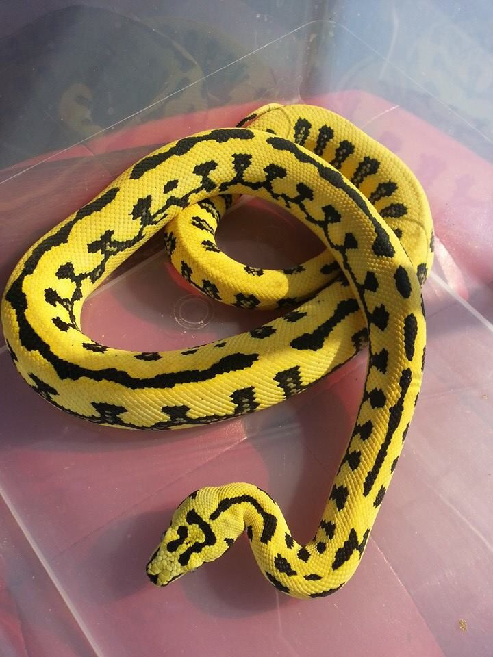 Jungle Jaguar Carpet Python With Images Snake Reptiles