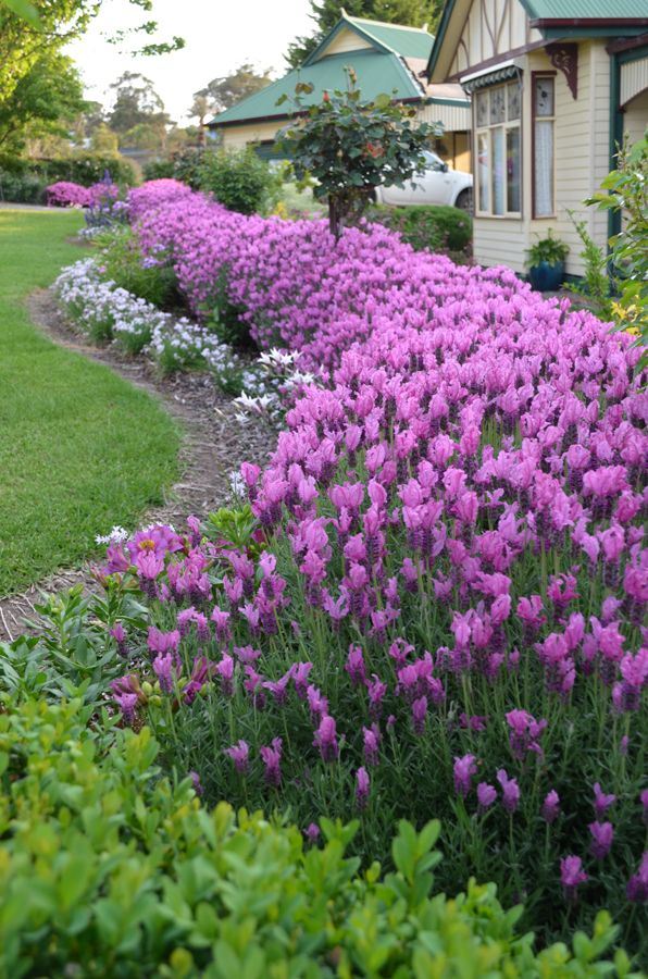 the princess lavender • electric pink flowers • hedging • use in