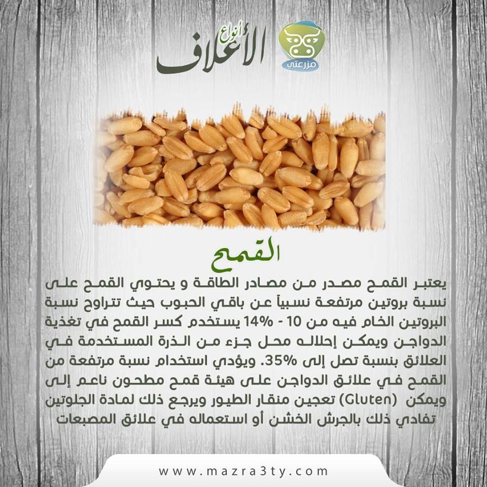 يعتبر القمح مصدر من مصادر الطاقة و يحتوي القمح على نسبة بروتين مرتفعة نسبيا عن باقي الحبوب حيث تتراوح نسبة البروتين الخام فيه من 10 1 Food Cereal Condiments