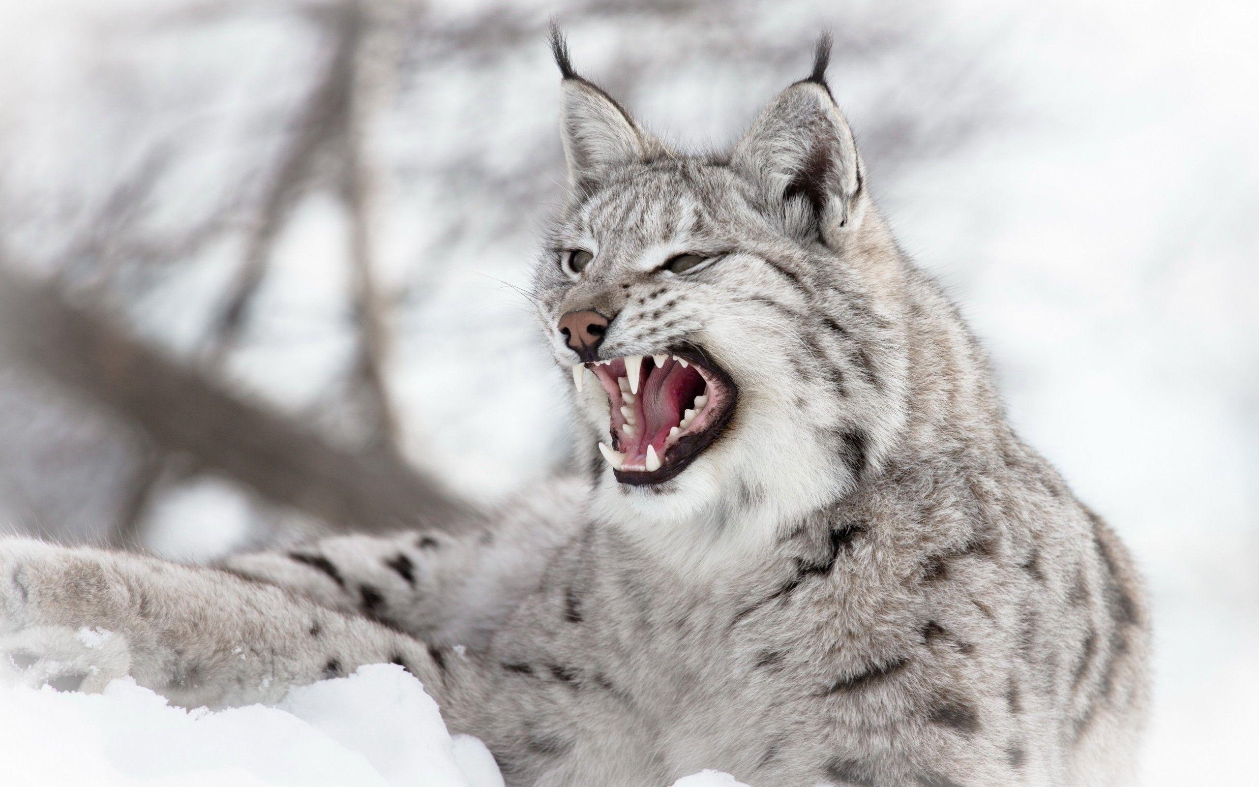 Lynx Wallpaper Animals Lynx Cat Wallpaper