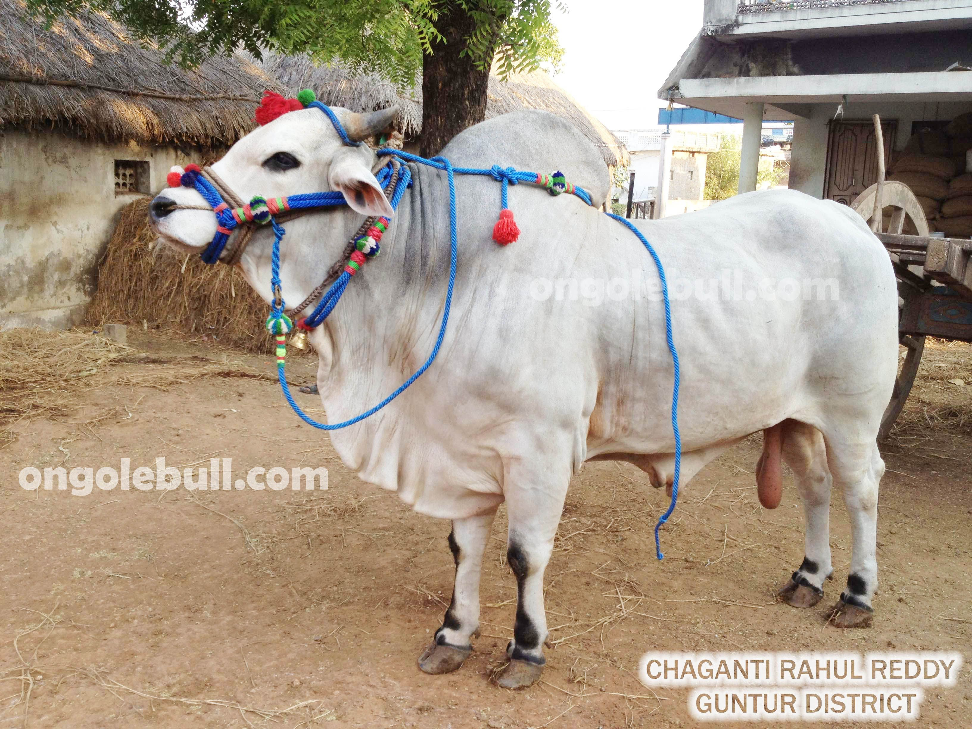 ongole gitta is called as ongole bull in english ongole bull