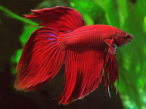 Red Veiltail Betta Male Veiltail Betta Betta Fish Betta Fish Types Betta fish wallpaper gif rosetail on