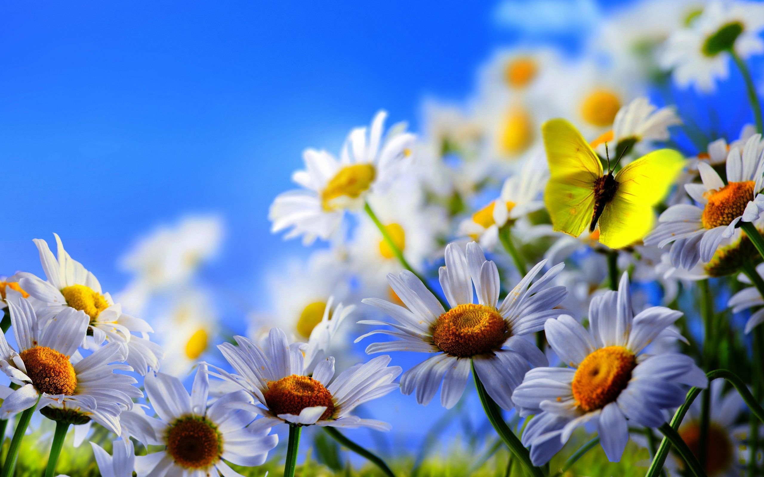 White-Daisy-Flowers-Yellow-Butterfly-Blue-Sky.jpg (2560 ...