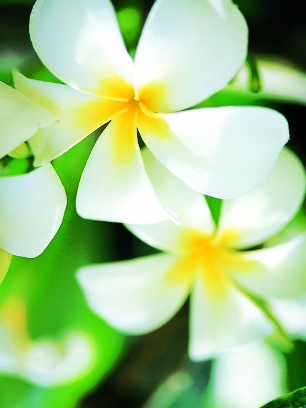 Tropical Flower 熱帯の花 夏の花 ハワイ 花