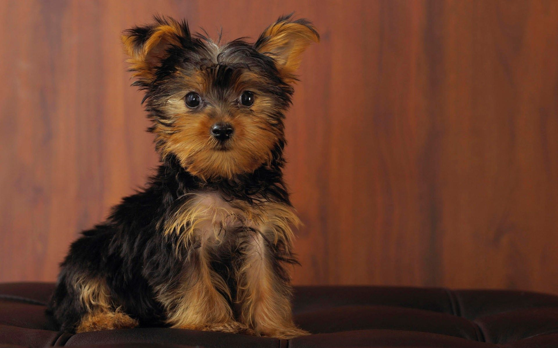 High Resolution Wallpapers Widescreen Yorkshire Terrier 1920x1200 248 Kb Teacup Yorkie Puppy Yorkie Dogs Yorkie Puppy