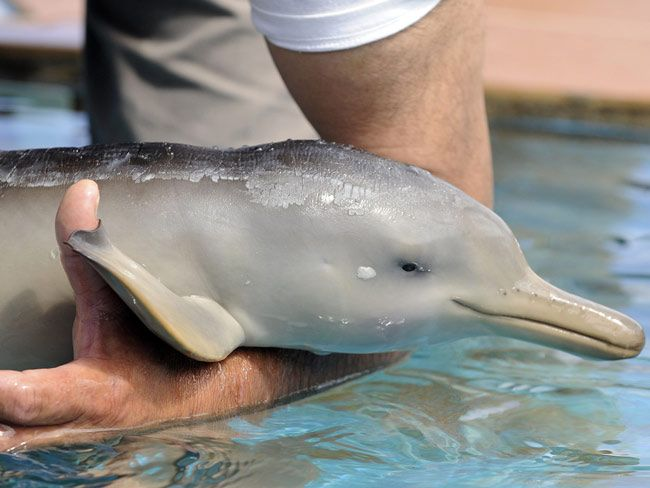 Baby Dolphin Baby Dolphin News Com Au Baby Dolphins Animals Dolphins