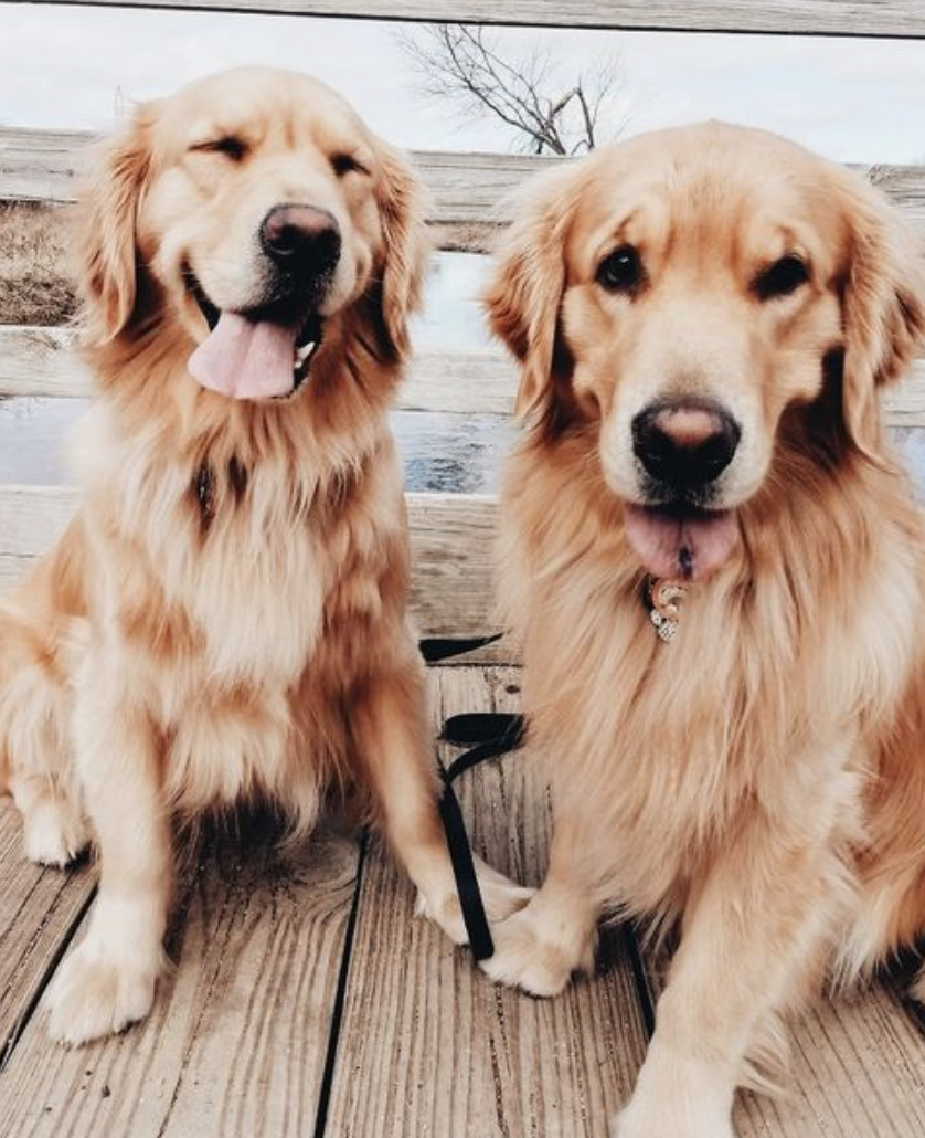 Golden Retrievers Cute Dogs Best Dog Breeds For Families Cute Puppies Goldenretriever Dogs Puppies Dogs Golden Retriever Dog Breeds Puppy Breeds