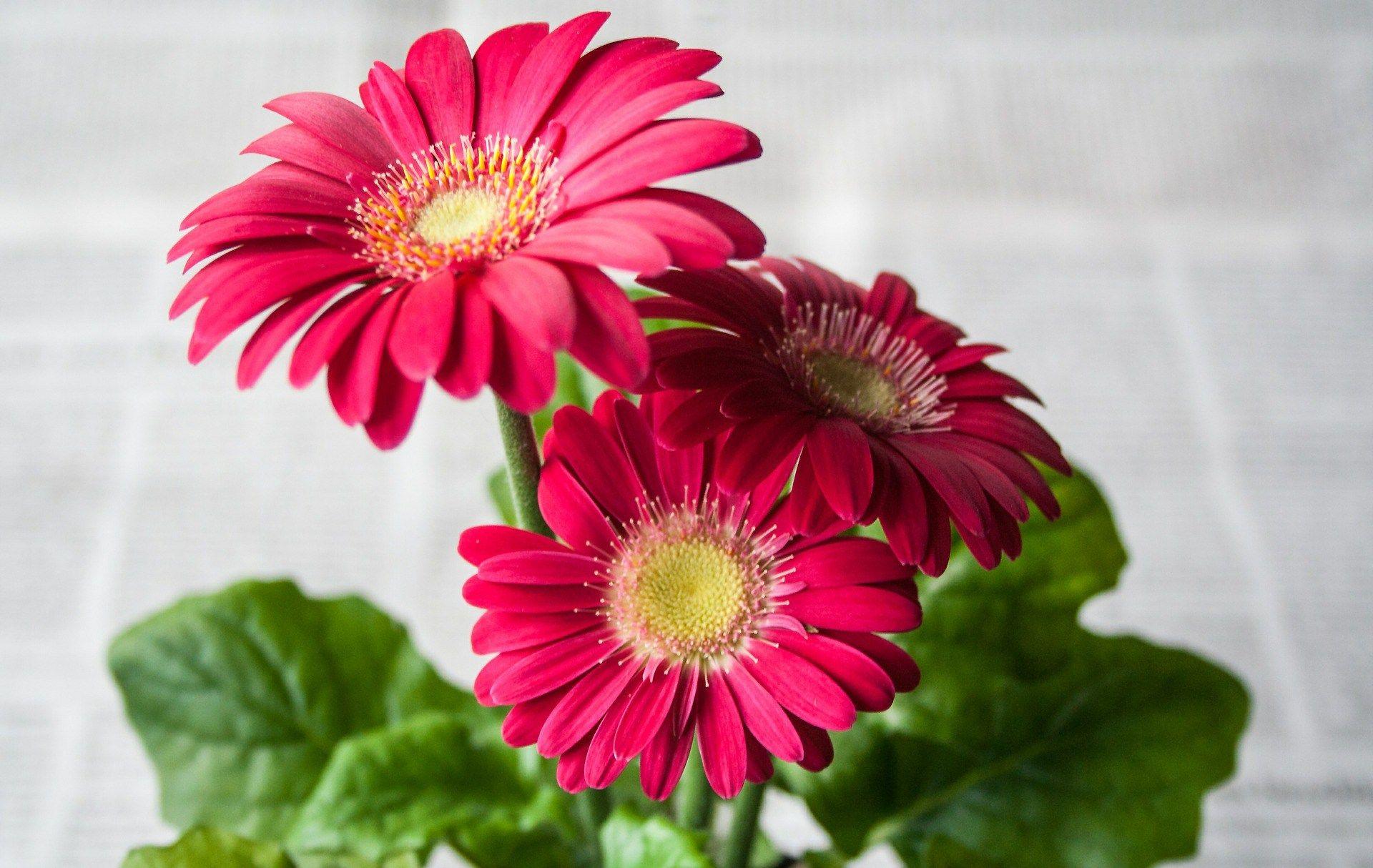 Gerbera Gerbera Daisy Indoor Flowering Plants House Plants Plants
