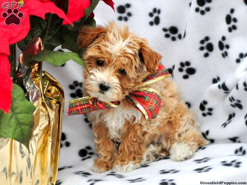 Rebi Havapoo Puppy For Sale From Gap Pa Poodle Mix Dogs Havapoo Puppies Poodle Mix