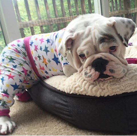 This English Bulldog Has Some Pretty Adorable Pjs Www Bullymake
