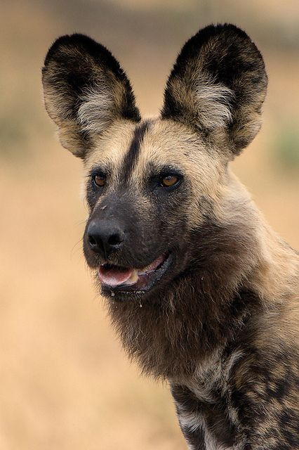 Lycaon pictus is a canid found only in Africa, especially in savannas and lightly wooded areas. It is variously called the African wild dog, African hunting dog, Cape hunting dog, African painted dog