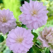 """Clematis Belle of Woking - With double petals and pale blue tones, elegant and classy, and produces 4-6"""" blooms."""
