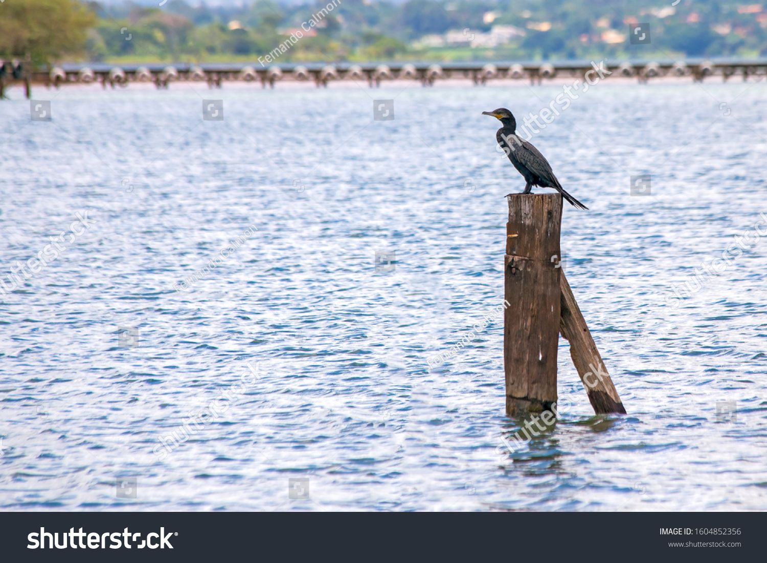 Neotropic Cormorant or Olivaceous Cormorant also know Bigua is an aquatic bird found on Parano¨¢ Lake in Brasilia, Brazil. Species Nannopterum brasilianus. Animal wildlife. Cerrado. Birdwatcher. #Ad , #SPONSORED, #bird#aquatic#Lake#Parano