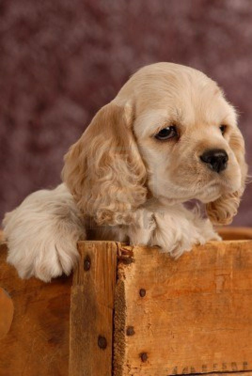 American Cocker Spaniel Puppy With In A Wooden Box Royalty Free American Cocker Spaniel Cocker Spaniel Dog Spaniel Puppies