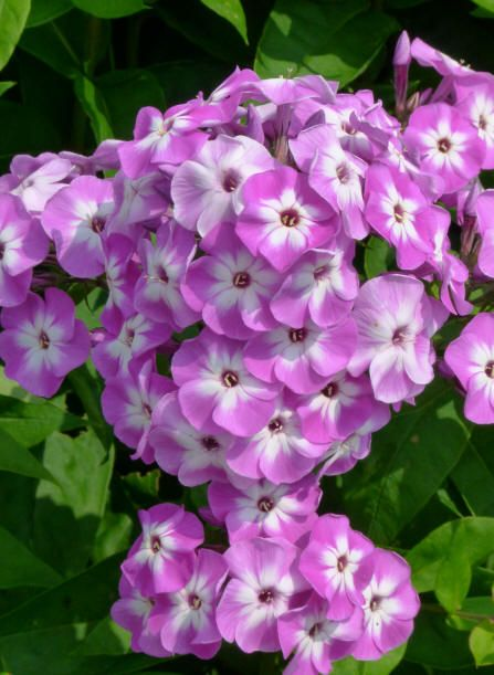Phlox Paniculata Little Laura With Images Phlox Flowers
