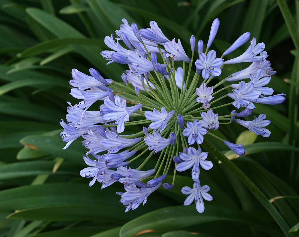 An Agapanthus flower arrangement after blooming   Agapanthus ...