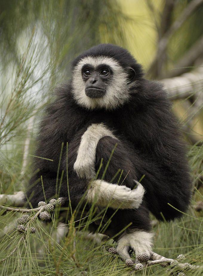 White Handed Gibbon By Photo Net Photographer Tibor