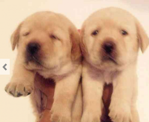 77 Golden Retriever Puppies For