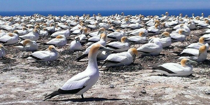Gannets, Cape Kidnappier, Napier, North Island, New Zealand, Oceania