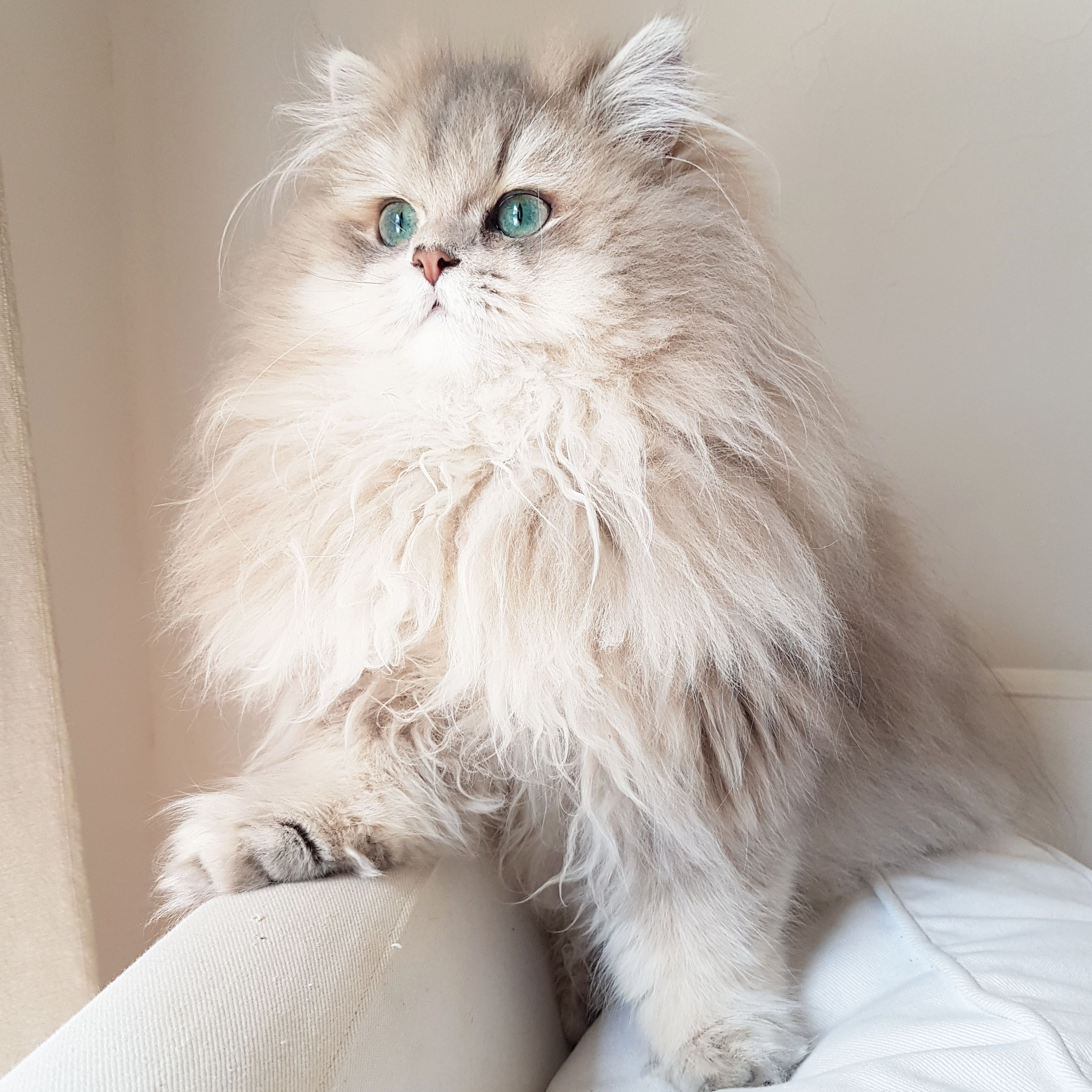 Neo British Longhair Blue Golden Shaded Cats Dog Cat Long Hair Styles