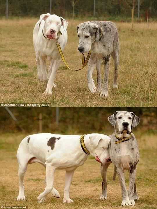 Blind Great Dane Lily And Her Guide Dog N Best Friend Maddison