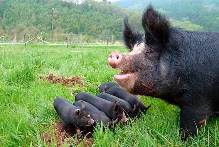 Berkshire Pigs Родина породы свиней Беркшир - одноименное графство в Англии. Местные свиньи носили черты примитивности, были грубыми и крупными. Их улучшение вели сначала через скрещивание с китайскими свиньями, потом перешли к разведению помесей «в себе». Этот процесс продолжался в XVIII-XIX вв. минимум 50 лет, с тех пор порода мало изменилась.