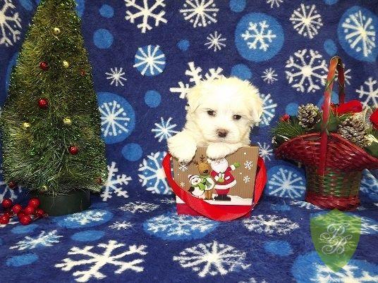 Puppies For Sale Colorado Maltese Breeders Puppies For Sale