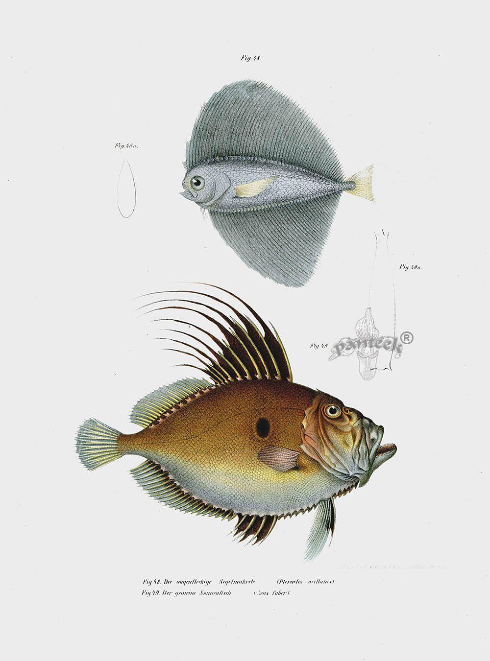 Wing Fish & Zeus faber LJF16 | Antique Fish Prints | Pinterest ...