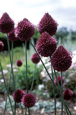 Allium Sphaerocephalon Amazing Flowers Flowers Flower Garden