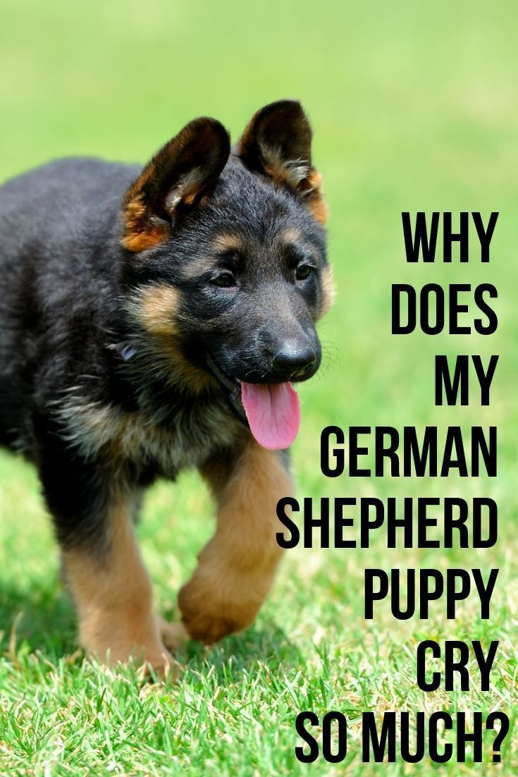 Why does my German Shepherd puppy cry so much? in 2020