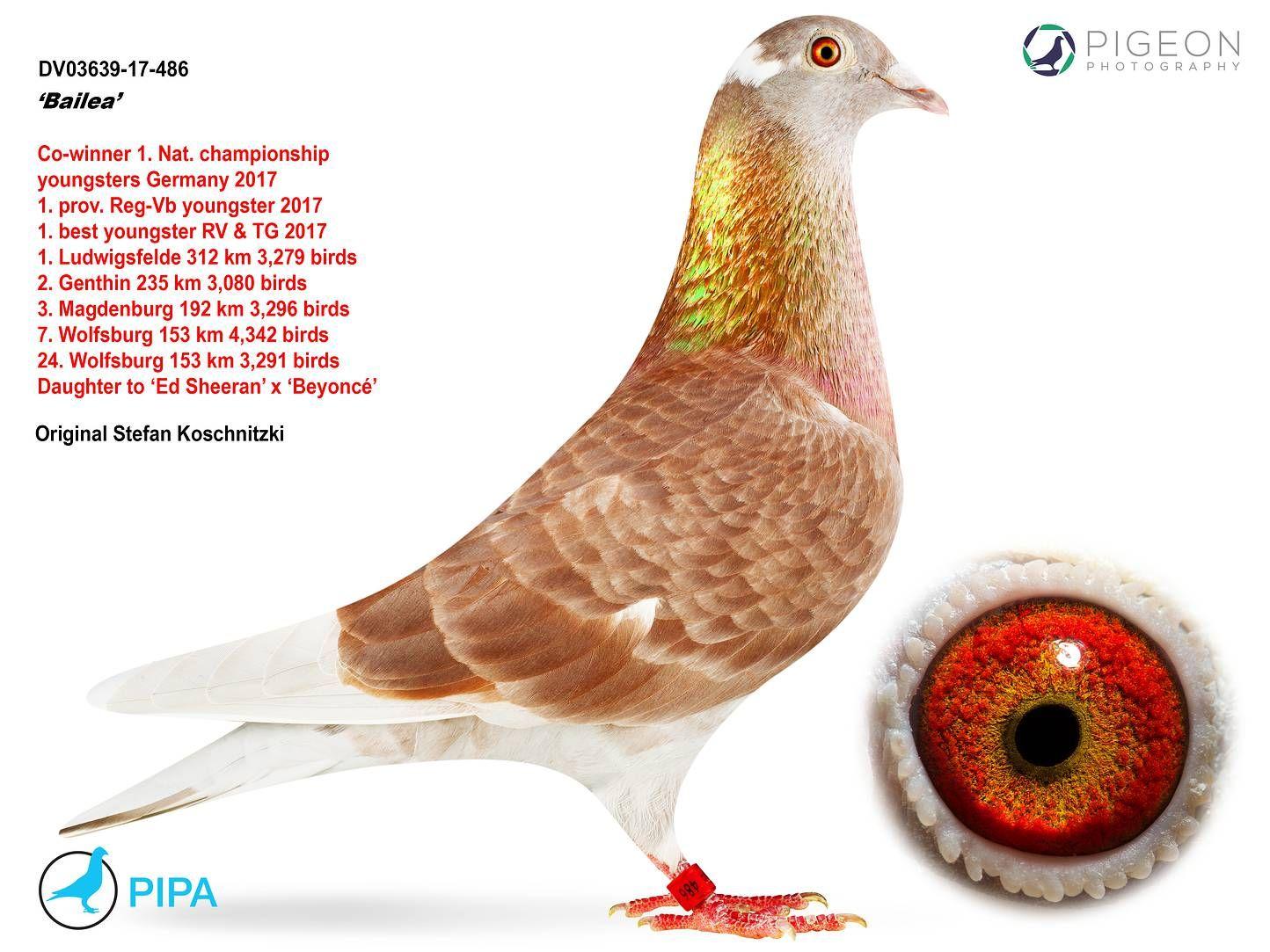 Pin On Pigeon