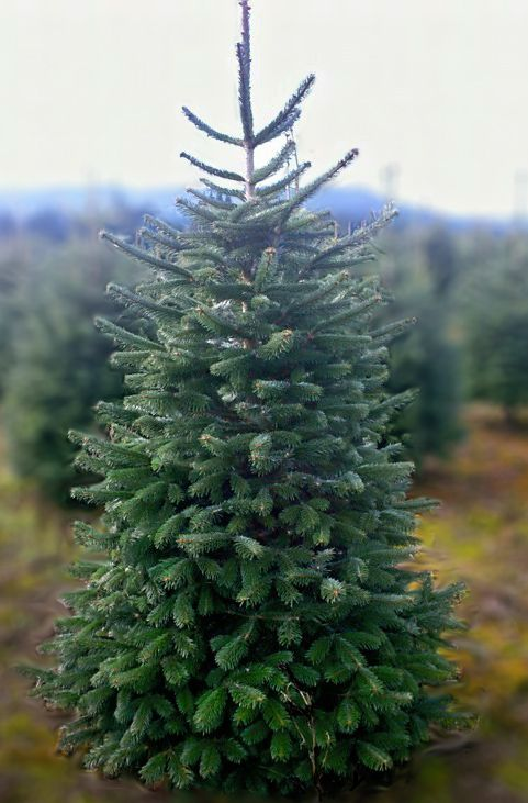 Adopt a Christmas Tree San Diego: after the holidays, your tree is replanted and waiting til the year ends to see you again ; )
