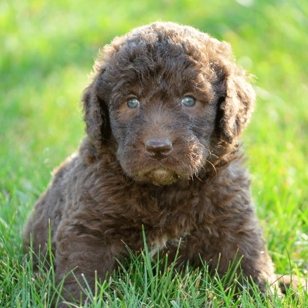 Chocolate Newfiedoodle Puppy For Sale Poodle Puppy Labradoodle Puppy Poodle Puppies For Sale