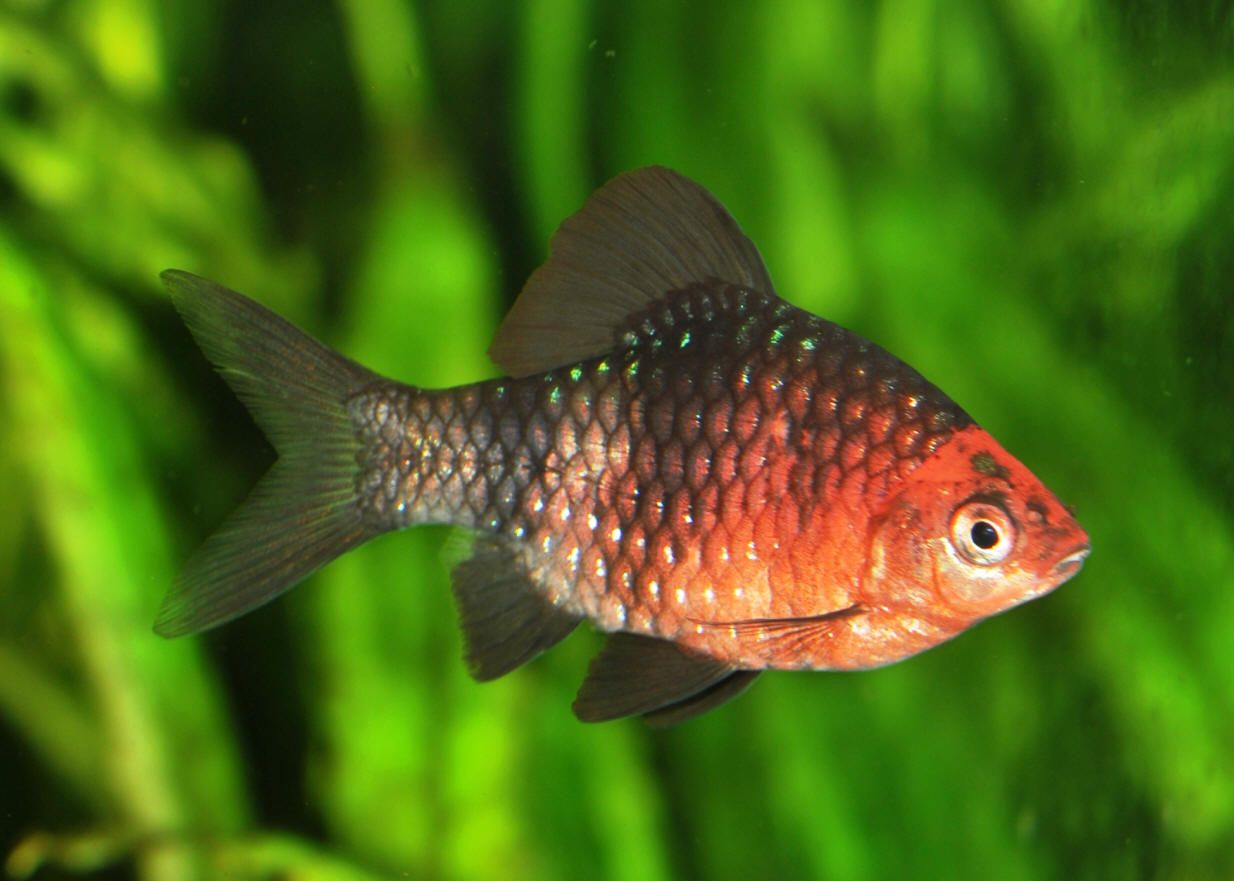 Black Ruby Barb Beautiful Fish Tropical Fish Tropical Fish Tanks