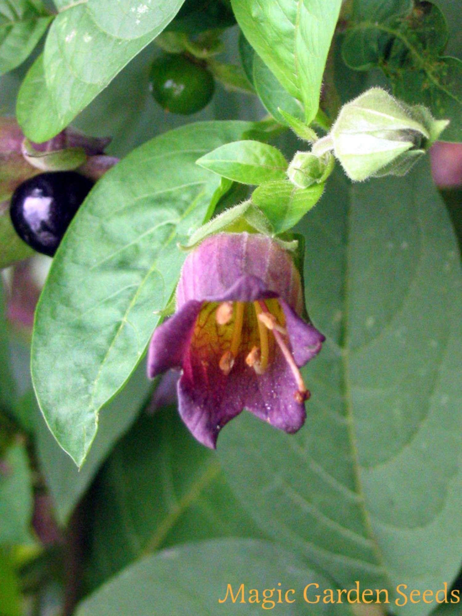 Mehrjährige Pflanzen Tollkirsche Atropa belladonna jetzt selbst anpflanzen mit Samen von Magic Garden
