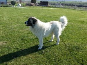WASHINGTON TOGO is an adoptable Anatolian Shepherd Dog in West Richland, WA. WEST RICHLAND WASHINGTON Togo is a big gentle giant of a dog. He is a very friendly boy and will make a wonderful and loya...