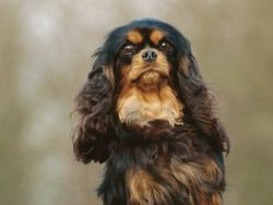 Cavalier king charles spaniel cavalier king charles king charles cavalier king charles spaniel altavistaventures Image collections