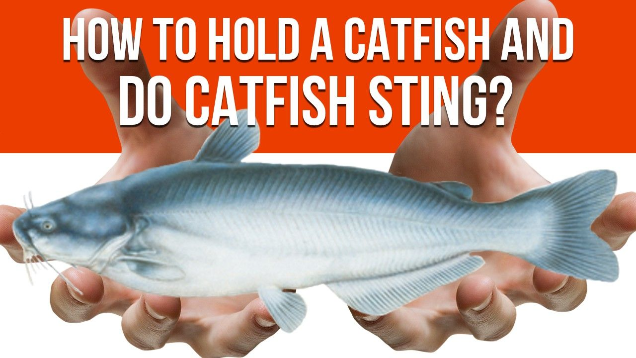 How To Hold A Catfish And Do Catfish Sting Catfish Fish Hold On