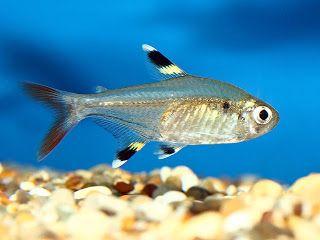 X Ray Fish Tropical Fish Pictures Tetra Fish Tropical Fish Aquarium