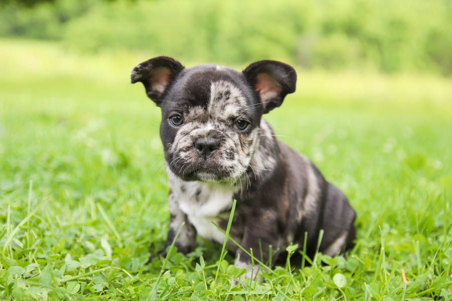 Puppies for Sale French bulldog puppies, Puppies